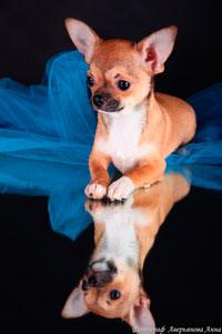 Di Rio Galeria Music Velvet Kennels Chihuahua Riflessioni Sulla